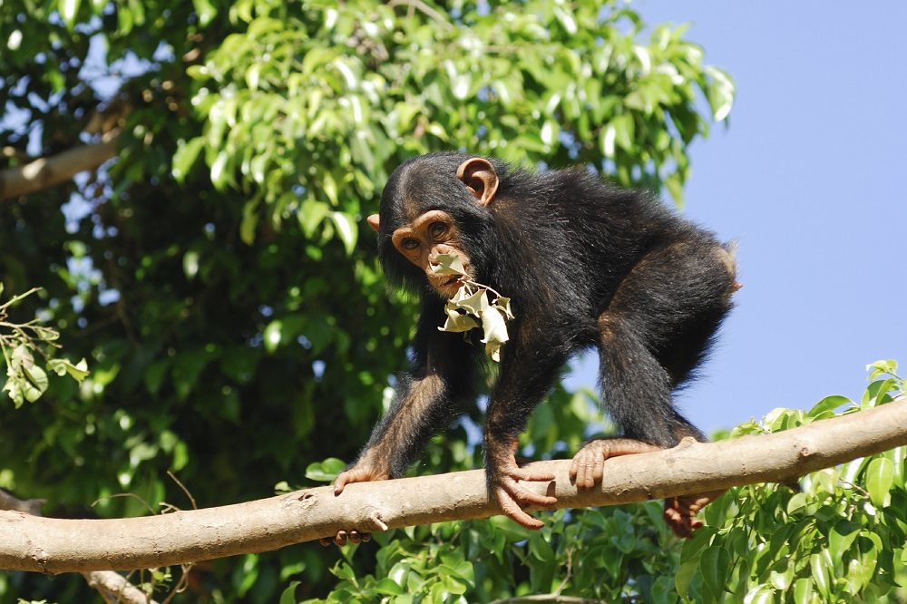 Chimpanzee on a branch in a zoo.